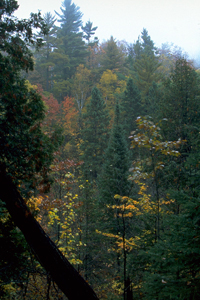 Conifers and deciduous trees during the fall