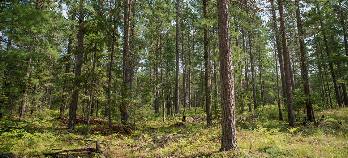 pine planation in the summer