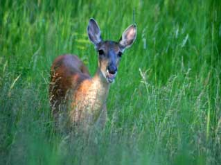 Photo of one of many animals in this area, a spotted fawn.
