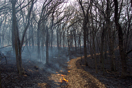 First buckthorn was cut on this site; then prescribed fire removed buckthorn seedlings.