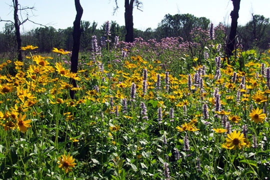 Prairie flowers quickly take advantage of nutrients available in the soils.