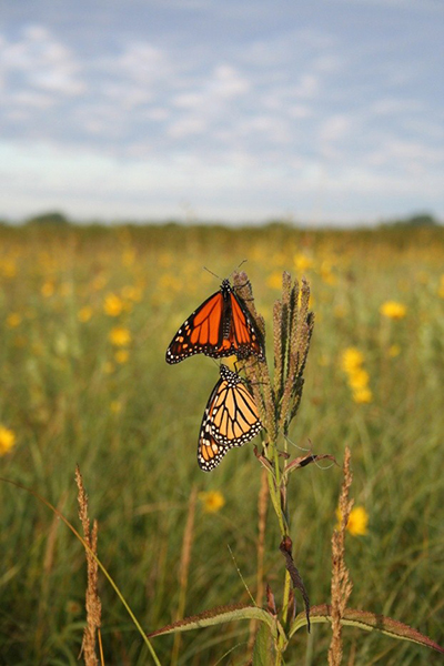 Prairie plants produce the nectar that attracts Monarch butterflies.