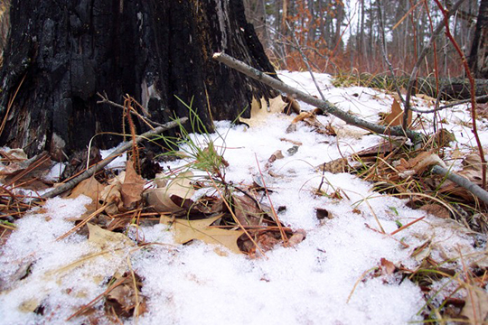 A pine seedling starts growing in a recently burned site, even before the snow fully melts.