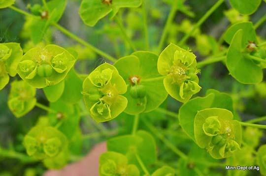 Spurge flowers