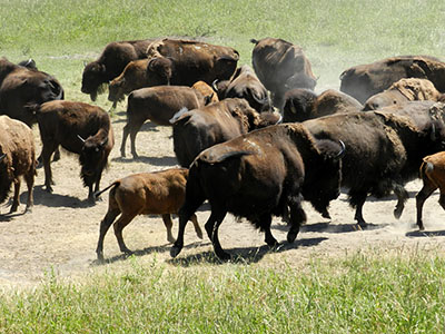 Bison at Blue Mounds State Park