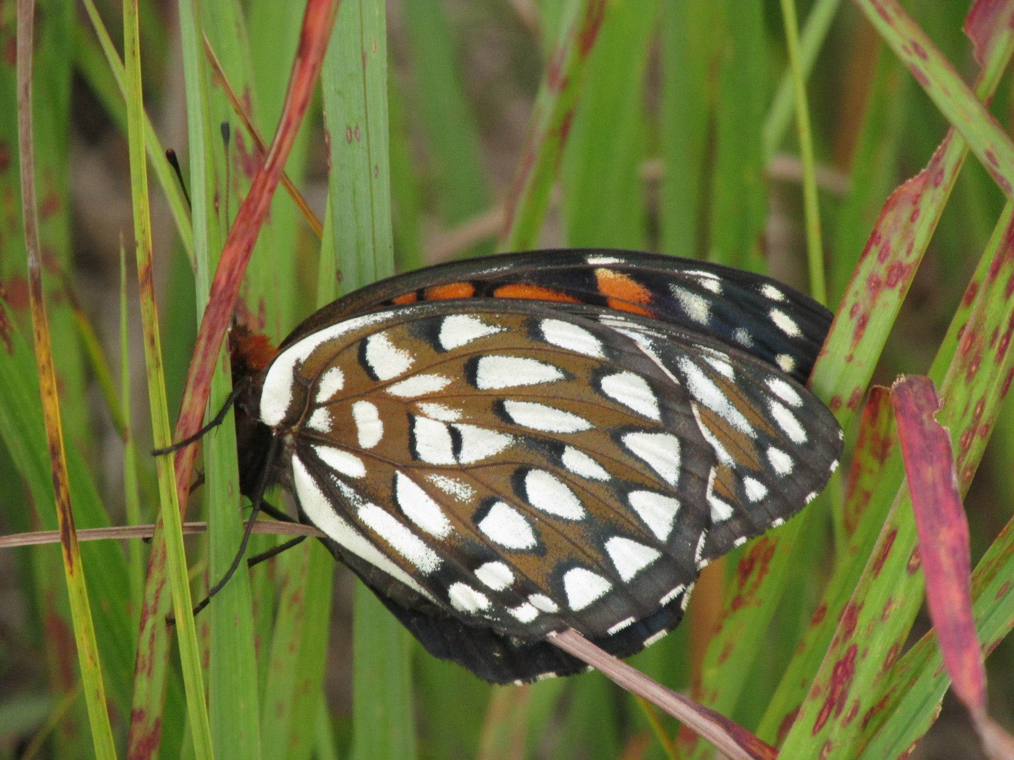 Photo of regal fritillary butterfly