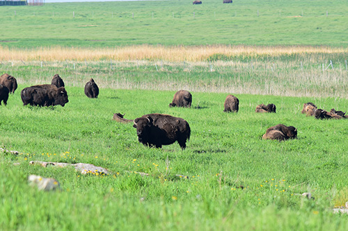 Bison on the Blue Mounds prairie, seen from the tour bus