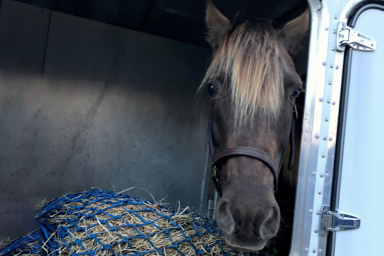 Horse with hay in trailer