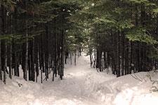 snowy path through pines
