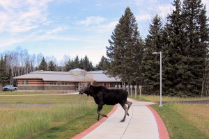 Photo of moose crossing a walkway near the park entrance.