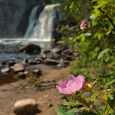 The High Falls of Tettegouche State Park offer a spectacular backdrop for a wild rose/