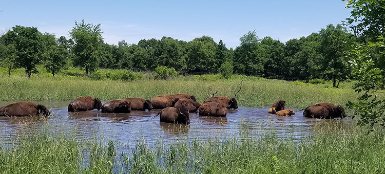 Bison herd at Minneopa