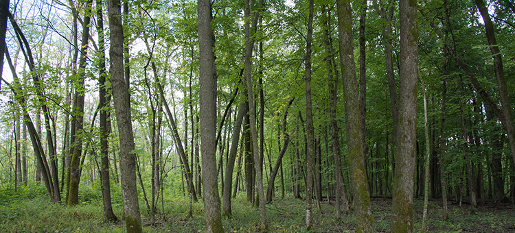 Photos forest canopy decline at Nerstrand Big Woods State Park