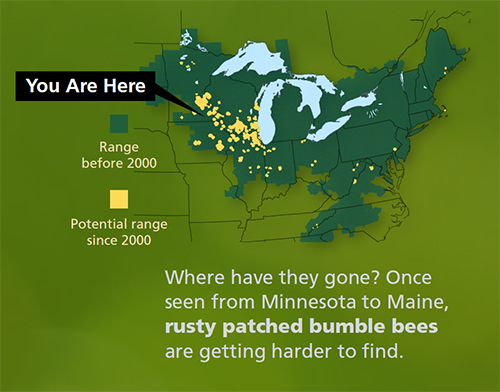 Once seen from Minnesota to Maine, the range of the rusty patched bumble bee has shrunk dramatically since 2000.