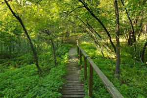 Photo of a trail through the oak basswood forest within the park.