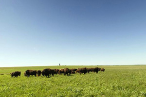 Grazing bison under blue skies.