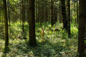 Photo of a deer, well shaded beneath the pine plantation canopy.