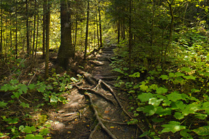 Photo of a narrow back country trail to Middle Falls, lined with thick vegetation.