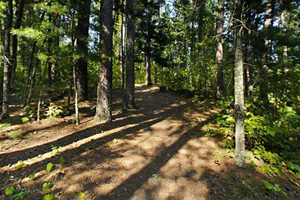 Photo of tall pines that tower over a narrow trail along the lakeshore.