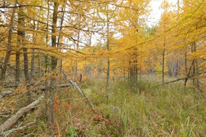 Photo of the golden fall color of late-season tamaracks.