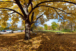Photo of the William O'Brien State Park picnic area with a blanket of fallen leaves on the ground.