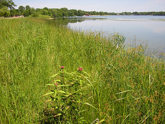 8 years later. Careful weeding over several years is essential for success. Photo: Ramsey-Washington Metro Watershed District.