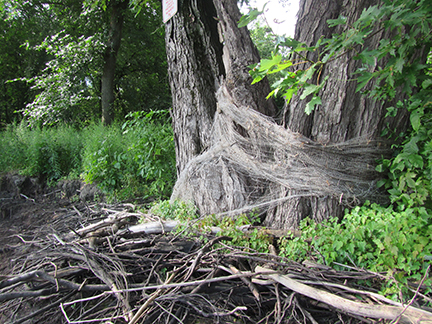 Mississippi River shoreline after installing plastic mesh to stabilize shore. Photos: Minnesota Department of Natural Resources staff.
