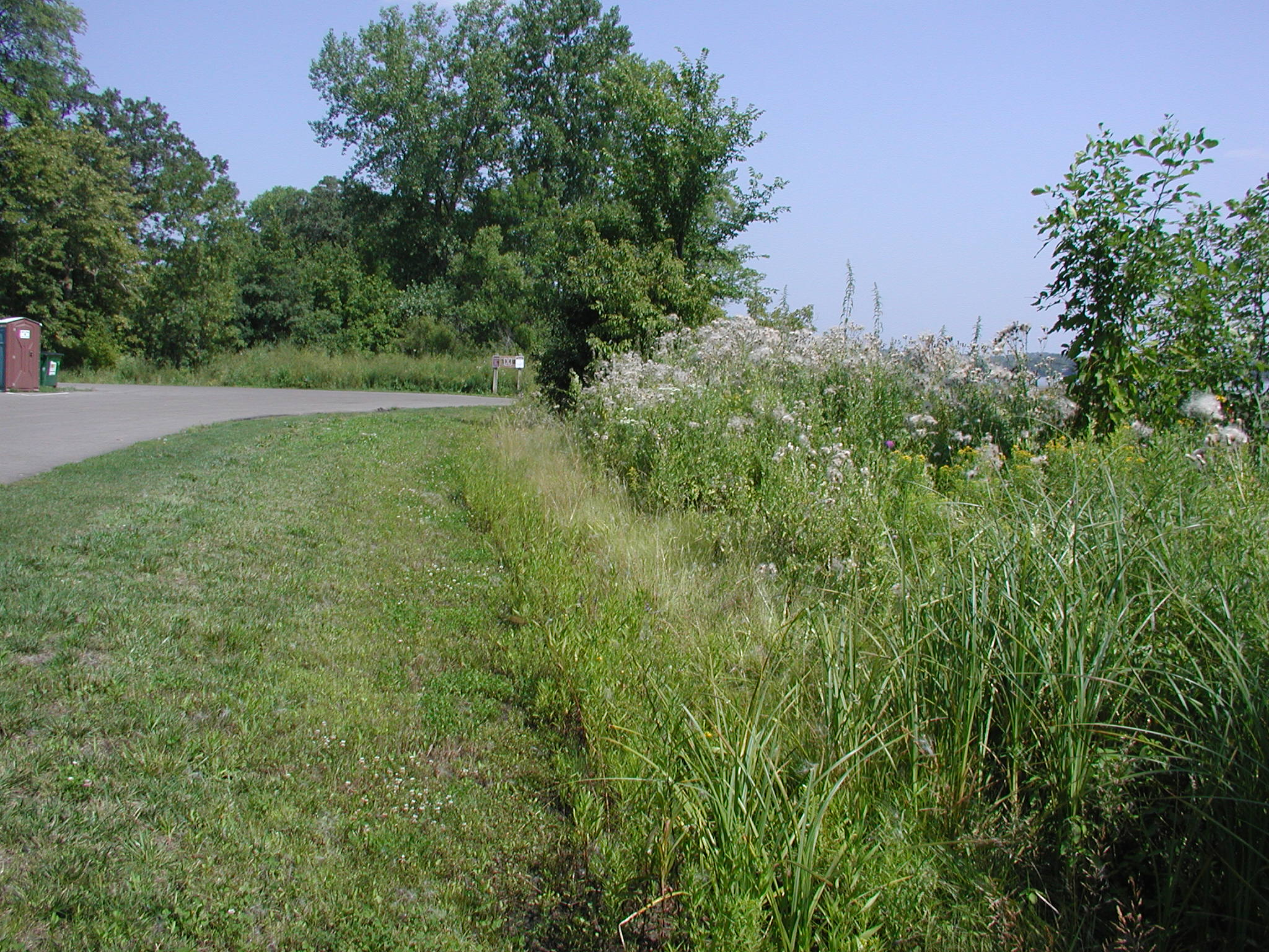 Restored shoreline buffer overtaken by Canada thistle.