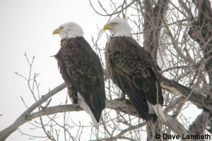 Eagles on the Red River