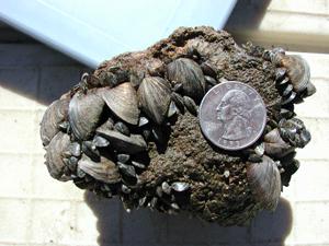 Zebra mussels.