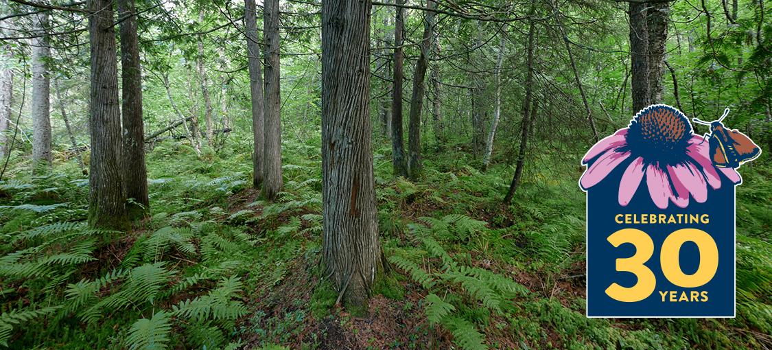 white cedar wet forest