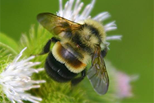image of rusty-patch bumblebee