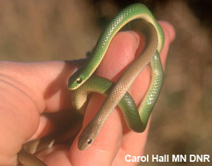 <em>smooth greensnake</em> photo of smooth greensnakes