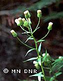 closeup of fleabane inflorescence