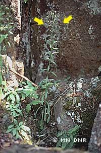 Bitter fleabane on rocky slope