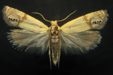new species of moth