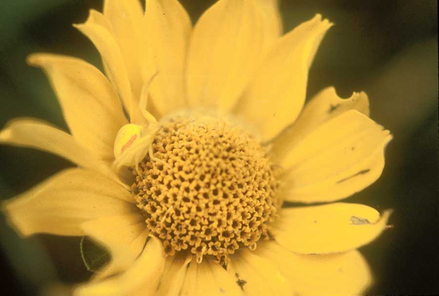 ox-eye sunflower.