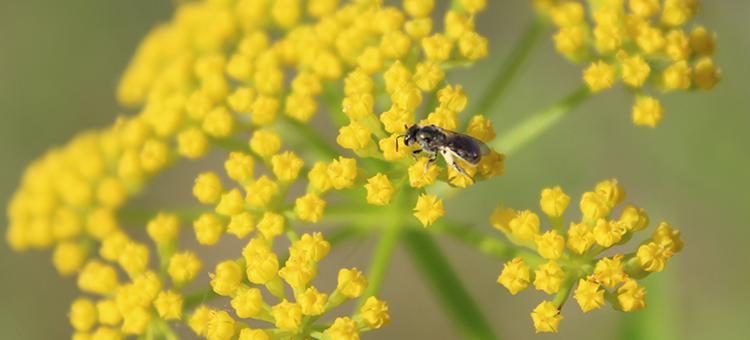 Bee in the genus Lasioglossum (sweat bees) on golden alexanders (Zizea aurea) flowers.
