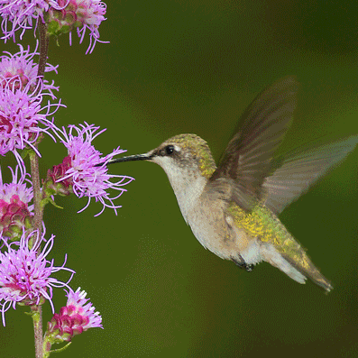 Birds such as this ruby-throated hummingbird transport pollen when they seek nectar from these <em>Liatris aspera</em> flowers. Photo by Sparky Stensaas.