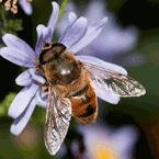 syrphid flie