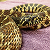 Female Gophersnake