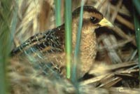 yellow rail photo