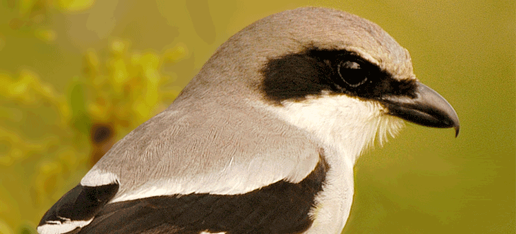 image of loggerhead shrike