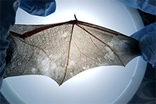a bat wing showing the effects of the WNS disease