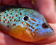 an orangespot sunfish documented by MBS