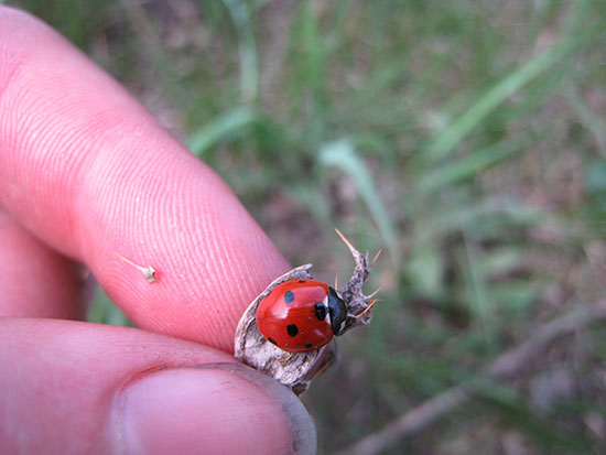 introduced seven-spotted ladybug