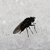 Unidentified fly sits on snow.