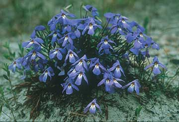 prairie violets.