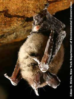 Tricolored Bat (formerly known as Eastern Pipestrelle) showing signs of Geomyces destructans, the fungus linked to WNS
