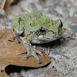 a gray treefrog sitting on a rock